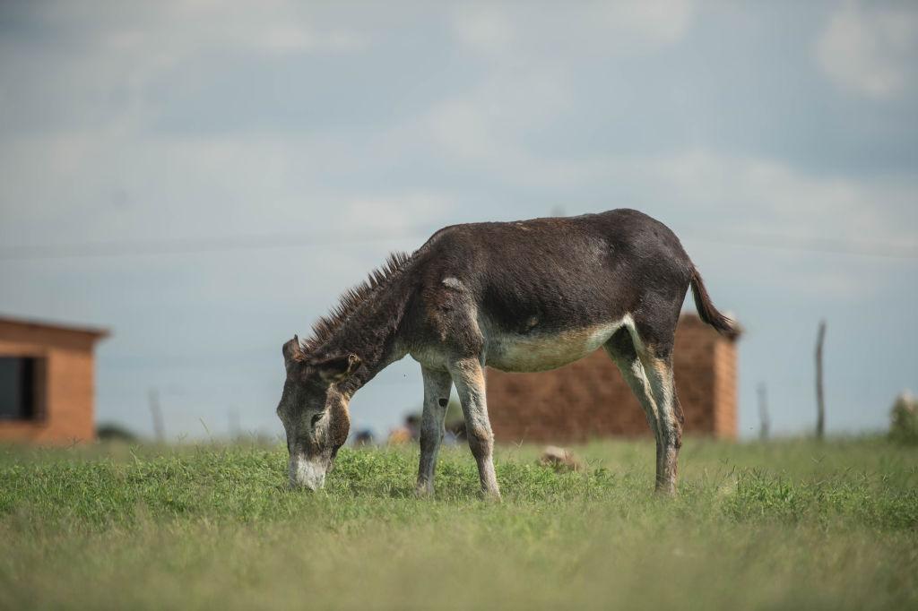 In Afrika sterben tausende Esel für chinesische Wellness-Snacks