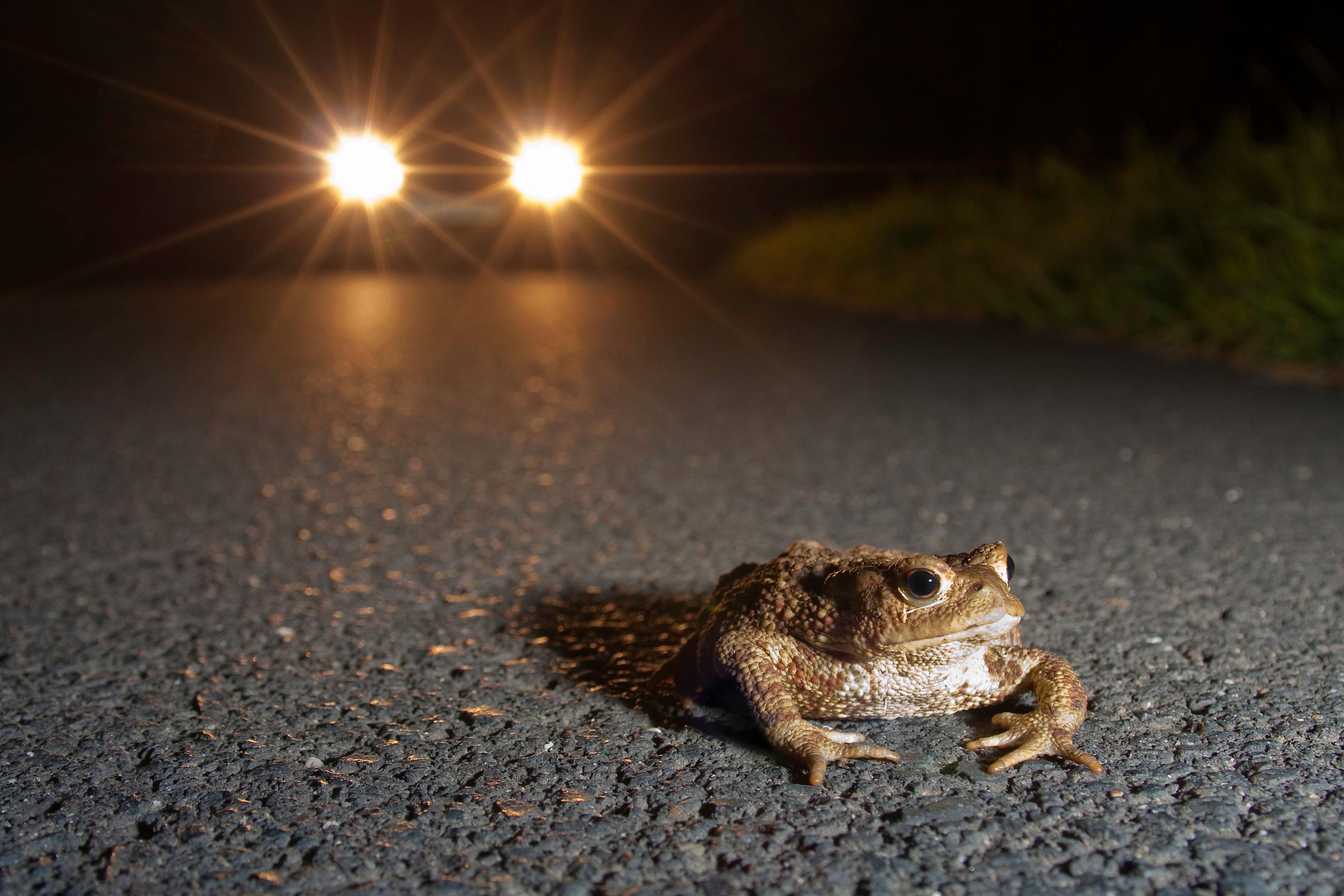Autofahrer aufgepasst – Kröten und Frösche sind unterwegs