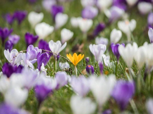 Solitaire: Zwischen seinen weißen und violetten Verwandten blüht im Kurpark von Bad Homburg ein einzelner gelber Krokus. Foto: Frank Rumpenhorst/dpa