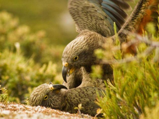 Neuseeländische Papageien stecken sich durch bestimmte Schreie gegenseitig mit Spielfreude an. Foto: Raoul Schwing/Cell Press/dpa