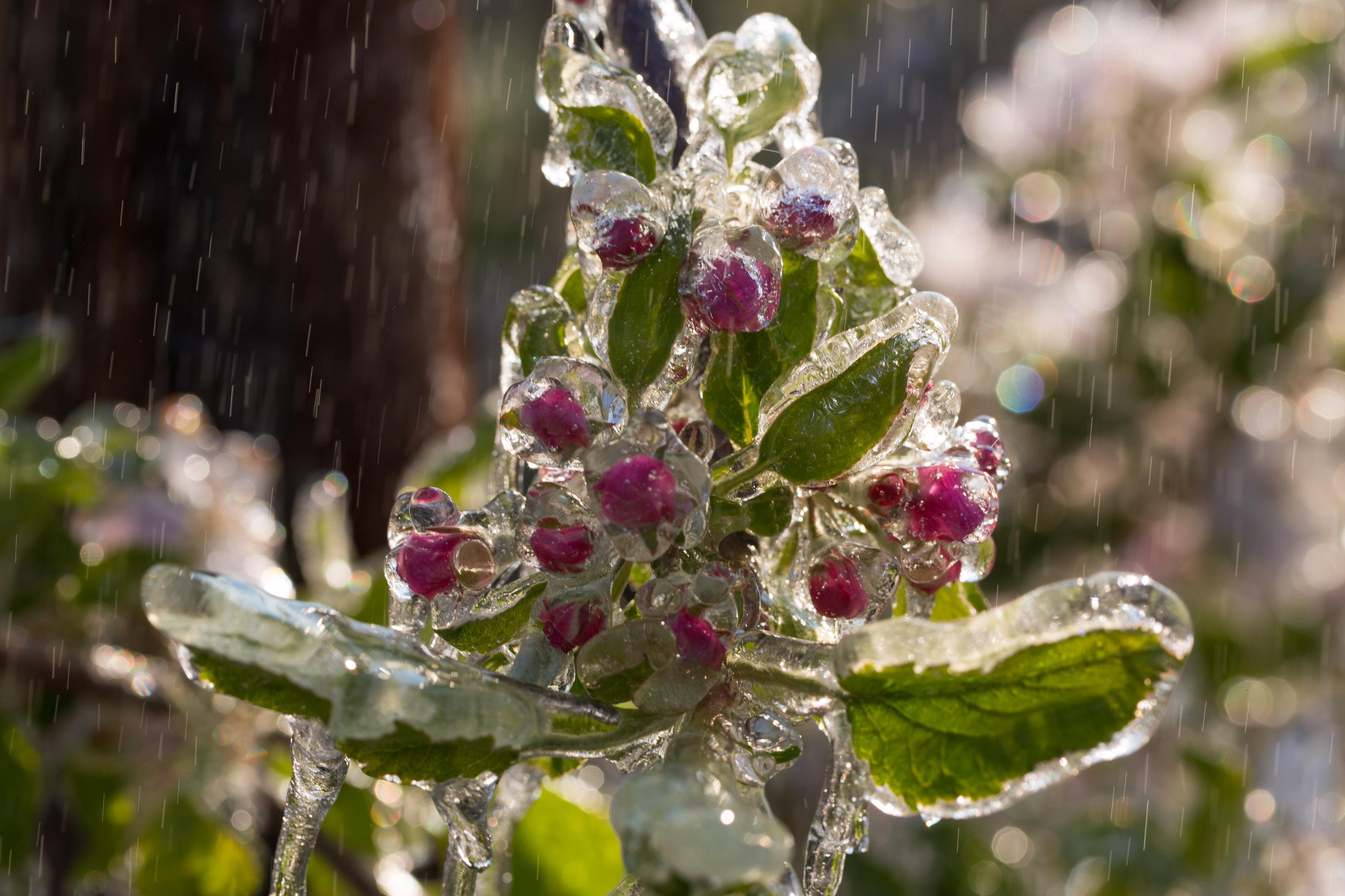Eismantel gegen Erfrieren – Erstaunliche Methode zum Schutz blühender Obstbäume