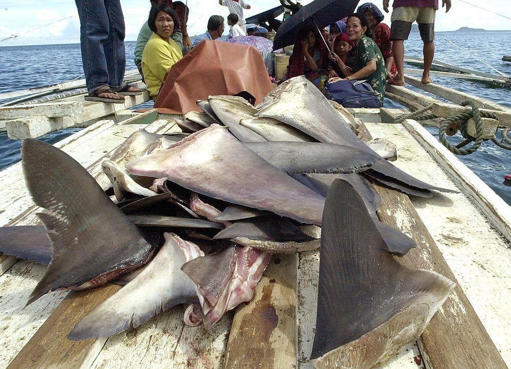 Guinea beschlagnahmt Haifischflossen auf chinesischen Schiffen vor Westafrika