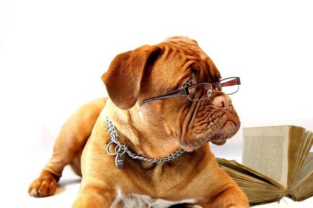 Bulldogge mit Brille und Buch Public Domain