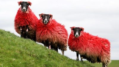 """""""Völlig von der Wolle"""" – 5.000 Schafe warten bei der WM in Frankreich auf ihre Schur"""