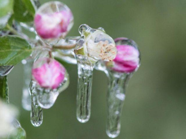 Vereiste Apfelblüten: Bei Minus vier Grad soll der Eispanzer die Blüten und Apfelbäume vor Frostschäden schützen. Foto: Patrick Seeger/dpa