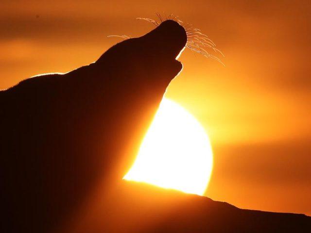 Der Tag kann beginnen: Eine Kegelrobbe liegt am St. Mary's Leuchtturm bei Whitley Bay in der Morgensonne auf Felsen. Foto: Owen Humphreys/dpa