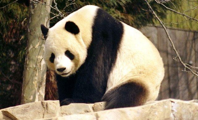 Panda Foto: über dts Nachrichtenagentur