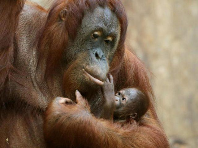 Kann sich freuen, denn Orang-Utan-Mütter stillen ihren Nachwuchs zumindest zeitweise noch bis ins neunte Lebensjahr hinein. Foto: Roland Weihrauch/dpa
