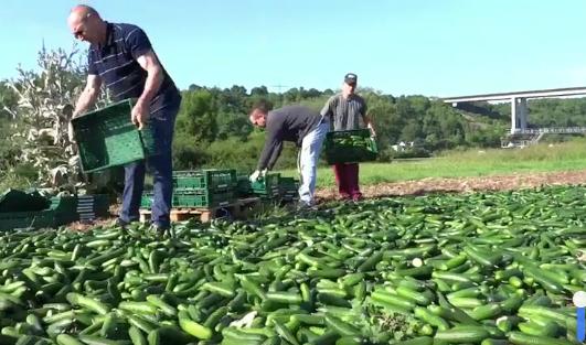 Gurken in 97340 Segnitz abzuholen: Der Handel will nur abgepackte Ware – Ernte muss vernichtet werden