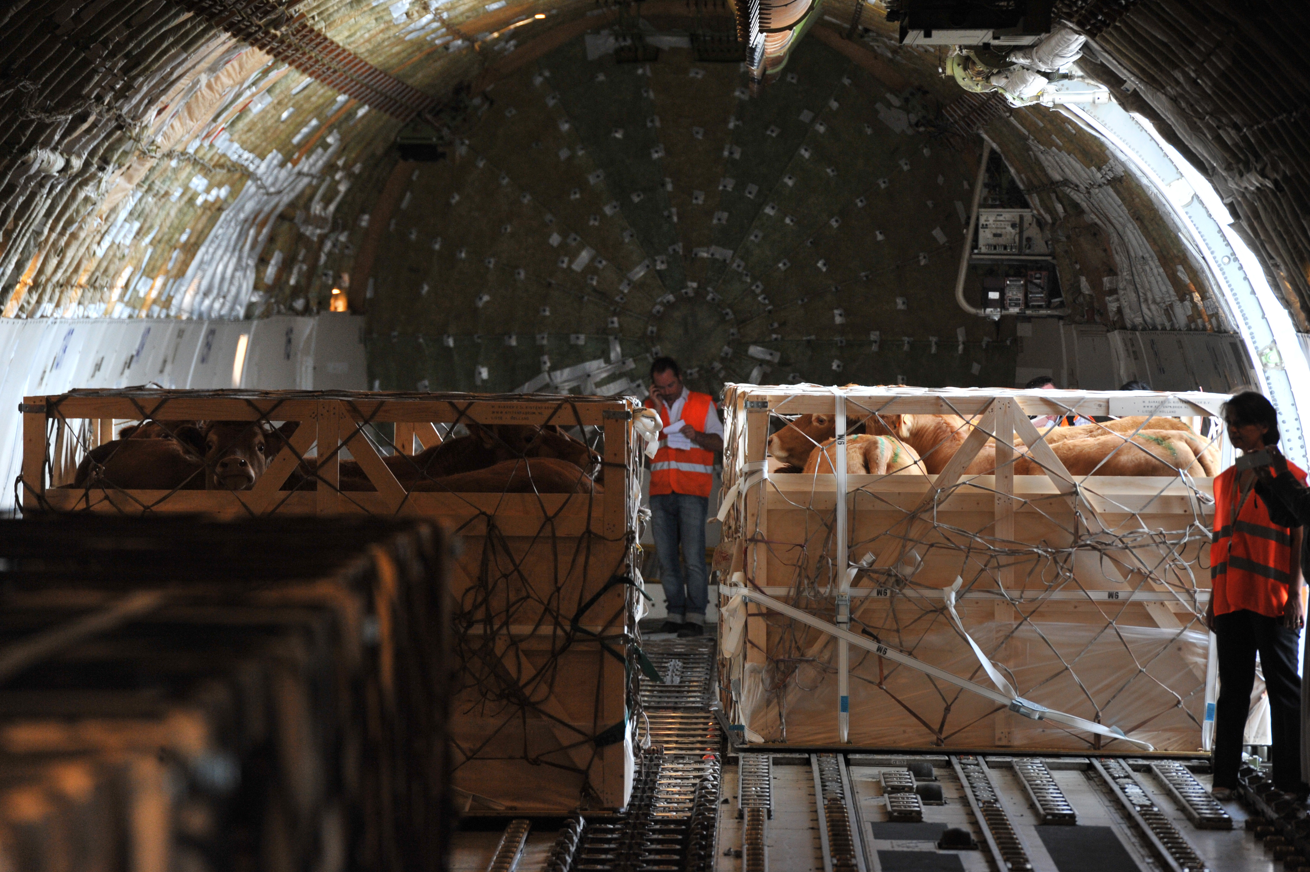 Katar: 4.000 Kühe in die Wüste geflogen – Unternehmer überlistet Saudi-Blockade