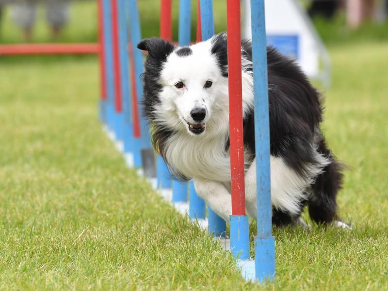 Verwöhnte Hunde fallen häufiger bei Prüfungen durch