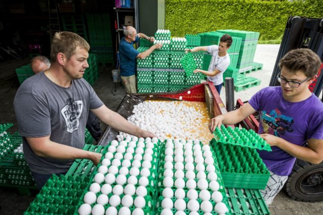 "Farmers throw eggs at a poultry farm in Onstwedde, Netherlands, on August 3, 2017 after the Dutch Food and Welfare Authority (NVWA) highlighted the contamination of eggs by fipronil, a toxic insecticide outlawed from use in the production of food. Dutch officials said on August 3, 2017 that about 180 poultry farms had been closed across The Netherlands after fipronil was found in samples taken from eggs, droppings and meat. In large quantities, fipronil, is considered to be ""moderately hazardous"" according to the World Health Organisation, and can have dangerous affects on people's kidneys, liver and thyroid glands. The insecticide, manufactured by Germany's BASF among other companies, is commonly used in veterinary products to get rid of fleas, lice and ticks. / AFP PHOTO / ANP / Patrick HUISMAN / Netherlands OUT (Photo credit should read PATRICK HUISMAN/AFP/Getty Images)"