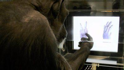 """Schimpansen können """"Schere, Stein, Papier"""" spielen"""