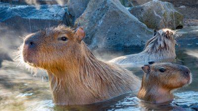 Meerschweinchen in der Badewanne? – Japanische Capybaras gehen lieber in öffentliche heiße Quellen