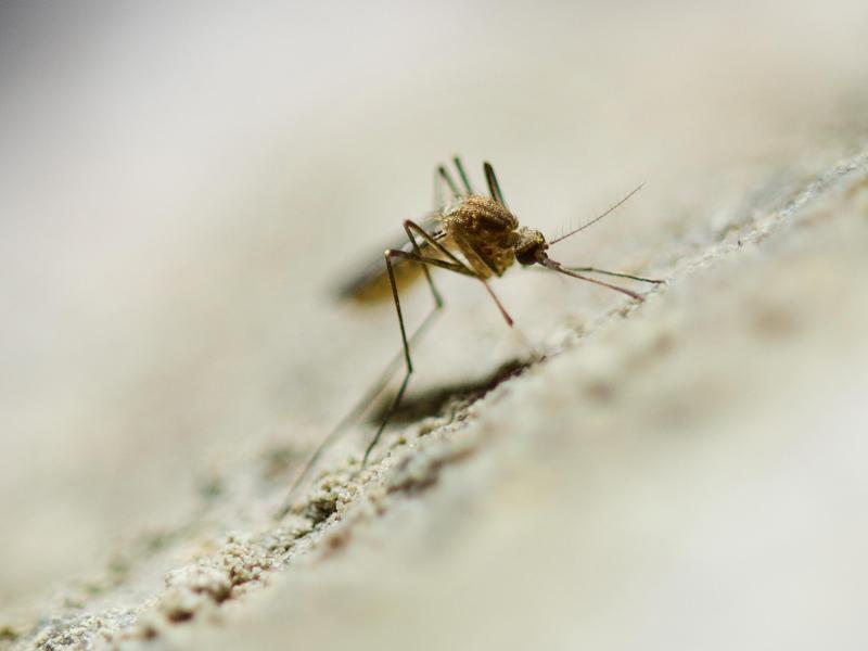 Zebramuster schützt auch Menschen vor Insektenstichen
