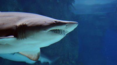 Zweiköpfiger Haifisch: Geheimnis rund um Mutationen in den Ozeanen
