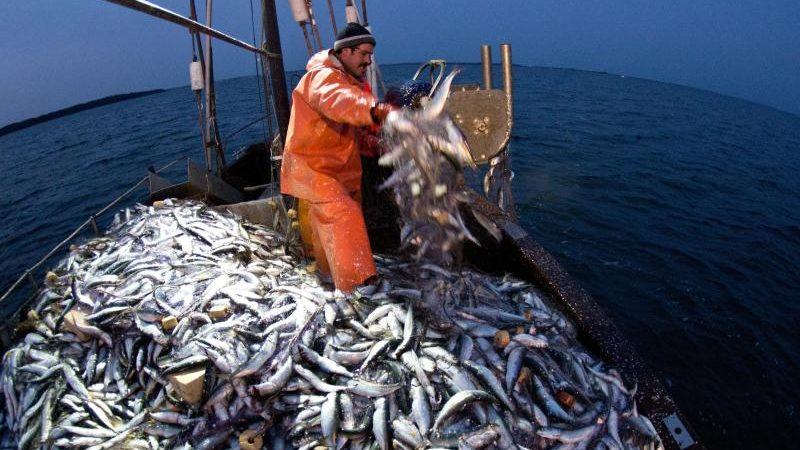 Studie: Dorschbestand in westlicher Ostsee zusammengebrochen