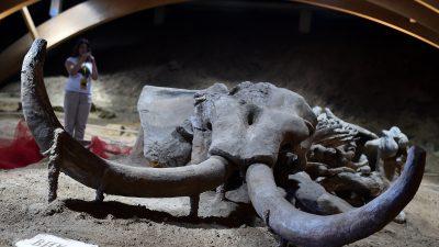 Weder Zaun noch Wasserleitung: Bauer findet 15.000 Jahre altes Mammut auf seinem Feld