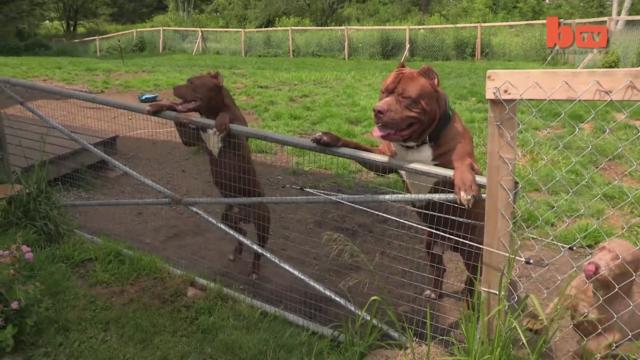 Hulk Der Weltgrößte Pitbull Hat Nachwuchs Bei Dem Verkaufspreis