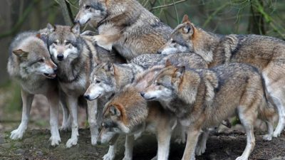 EU-Kommissar: Wolf bleibt besonders geschützt – Der Wolf als Teil des Ökosystems + Video