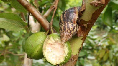 Riesenschnecken erobern den Westen Kubas – Gefahr für Mensch und Tier