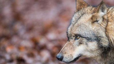 Norddeutschland: Wölfe töteten mehr als 1.000 Nutztiere in 2019