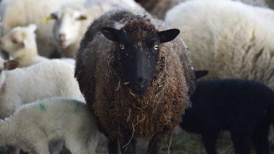 """""""Keine Tierschlachtungen neben unseren Briefkästen!"""": AfD gegen archaische Kultur und geköpfte Schafe im Brennpunkt Talstraße"""