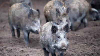 Schweinepest schwächt China im Handelskrieg gegen die USA