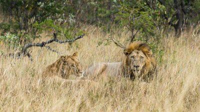 Löwen in Westafrika halten sich nicht an die Grenzen ihrer Schutzgebiete