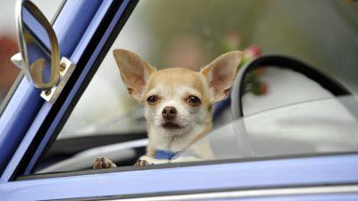 Chihuahua-Welpe am Flughafen ausgesetzt – Frauchen hinterließ eine herzzerreißende Nachricht