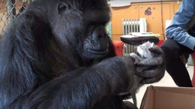 Zum Geburtstag erhielt diese Gorilladame zwei Kätzchen als Geschenk!