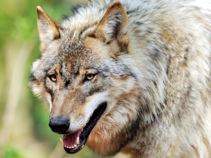 Reinhold Messner sieht Rückkehr des Wolfes kritisch