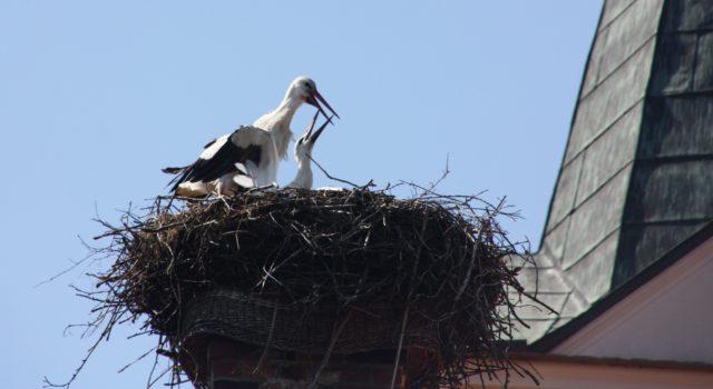 rege flugt tigkeit herrschte um das nest von meister adebar in woltersdorf. Black Bedroom Furniture Sets. Home Design Ideas