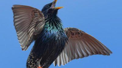 Alle Vögel sind schon da – Von Hoffmann von Fallersleben mit Video