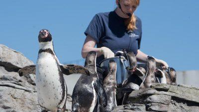 Meeresmuseum: Wie und was hören Pinguine?