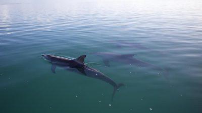 Große Hilfsbereitschaft: Delfine retten erschöpften Hund vor dem Ertrinken