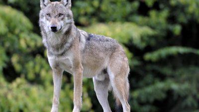 Polizei entfernt jungen Wolf aus dem Keller eines Wohnhauses in Görlitz