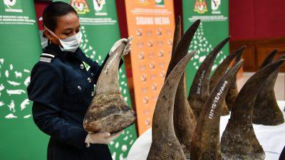 Nashorn-Schmuggel in Malaysia – 116 Kilogramm Horn beschlagnahmt