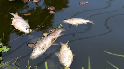 Fischsterben: Münster kämpft um den Bestand im Aasee