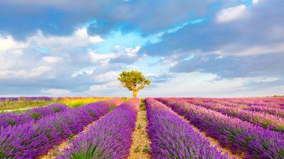 """Lavendel liegt im Trend – Nachfrage nach Provence-Öl """"explodiert"""""""