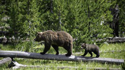 US-Richter verbietet Grizzly-Jagd bei Yellowstone Nationalpark