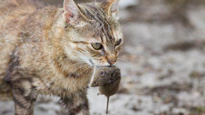 Katzen helfen nur bedingt gegen Ratten – aber auch Terrier sind gute Jäger