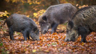 Erste Wälder geschlossen – Belgien verstärkt seinen Einsatz gegen die Schweinepest