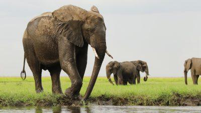 Tierschützer: Wilderer in Botswana töteten fast 90 Elefanten