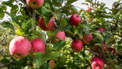 """2018 war ein gutes Apfeljahr – Obstbauern im """"Alten Land"""" bei Hamburg sind zufrieden"""