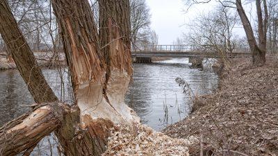 Biber fällt 20-Meter-Baum und beschädigt Yacht