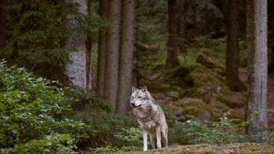 Immer mehr Wolfsrudel leben in Deutschland
