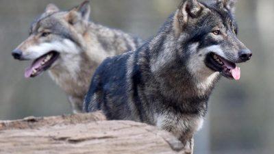 Klöckner stellt Wolfskompromiss infrage: Genereller Abschuss von Wölfen soll erlaubt werden