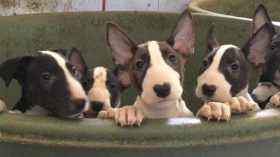 Junges Paar adoptiert hochschwangeren Pitbull und bekommt 12 kleine Hundewelpen