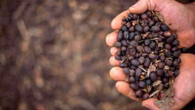 Kaffeeproduktion in Brasilien erreicht neues Rekordhoch